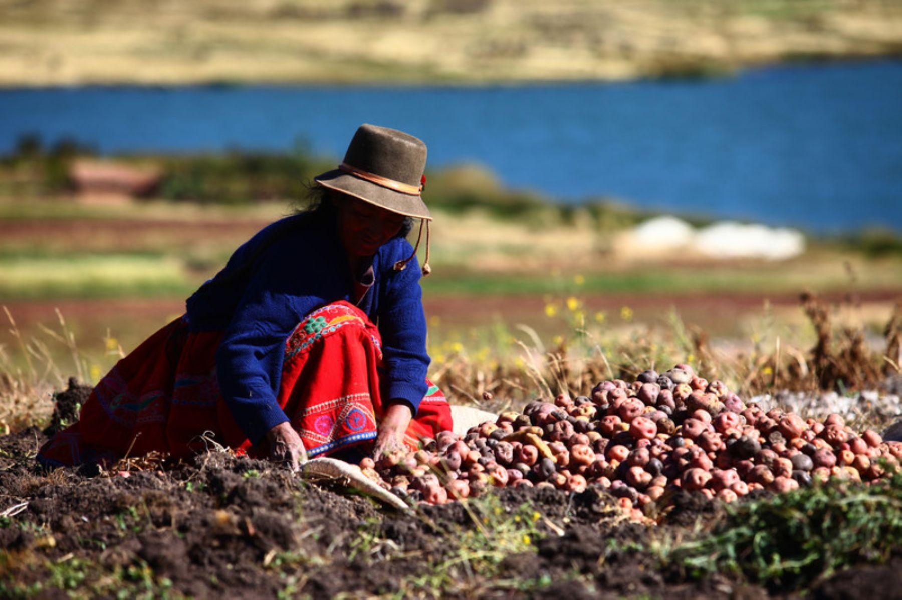 Disminuirían los rendimientos de papa, haba, arveja, cebada, maíz amiláceo, trigo y frejol en la ...