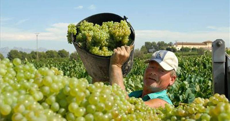Productores chilenos de uva preocupados por competencia peruana
