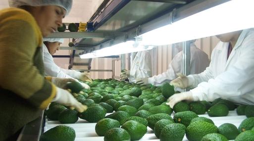 Mercados europeos podrían buscar nuevos proveedores de palta ante carencia de suministro por parte ...