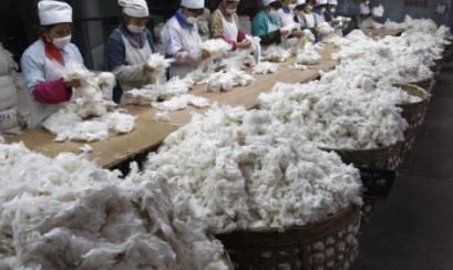 Cosecha de algodón pima será casi nula este año