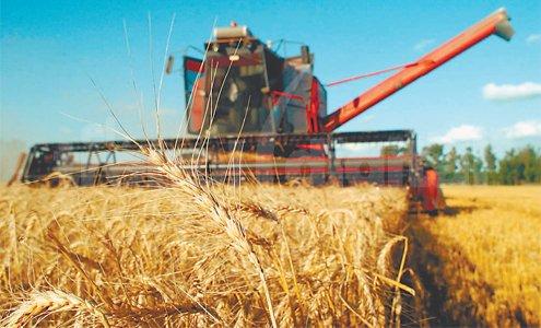 La Libertad: cosecha de trigo mecanizada mejora en un 60% el rendimiento productivo en Santiago de C...