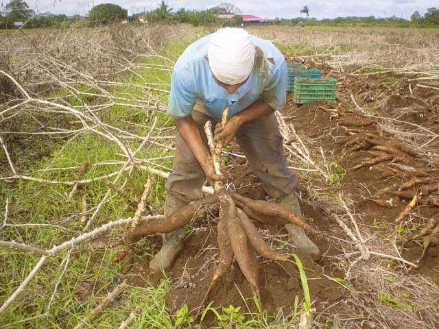 Campaña pos-Niño: 24 cultivos transitorios alcanzarán las 2,3 millones de hectáreas