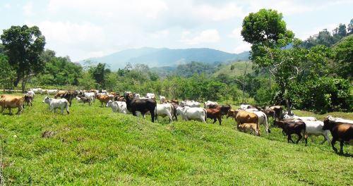 Junín: crianza de cebú se presenta como alternativa productiva en Pichanaki