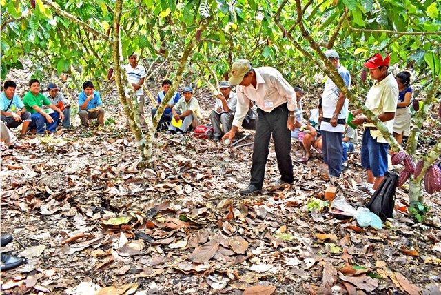 """Promueven campaña """"Más cosecha de cacao,  más ganancia"""""""