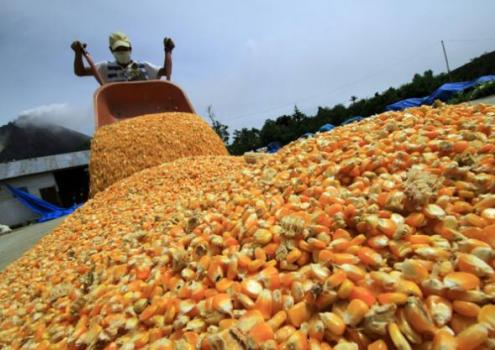 Importación de maíz amarillo duro aumentó 8.7% durante enero-septiembre del presente año