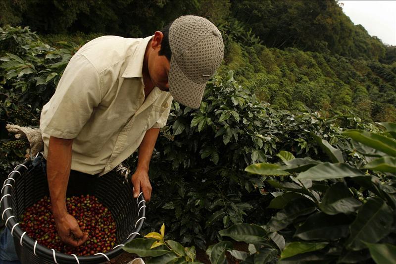 """""""El cambio climático reducirá la producción de café entre 10% y 20%"""""""