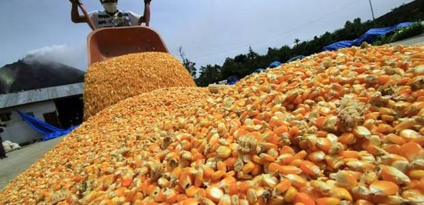 Porcicultores preocupados por posible aplicación de arancel a la importación de maíz amarillo dur...