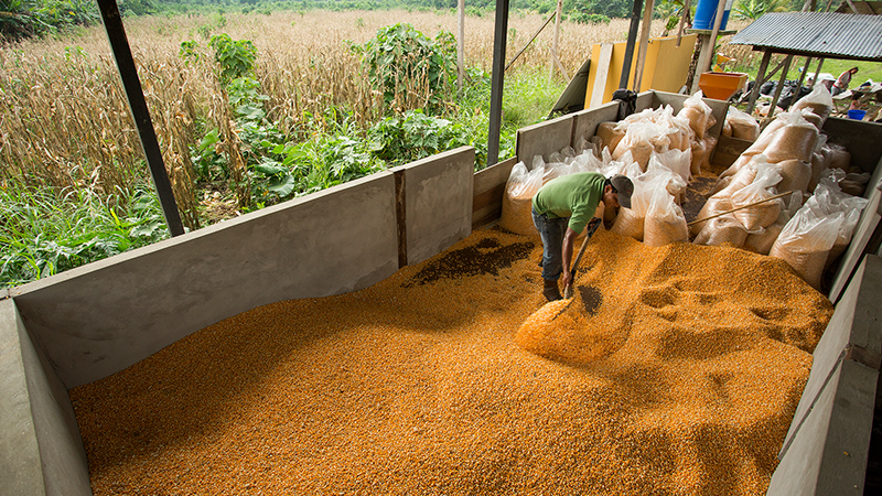 Importación de maíz amarillo duro aumentó 9.8% durante el 2017