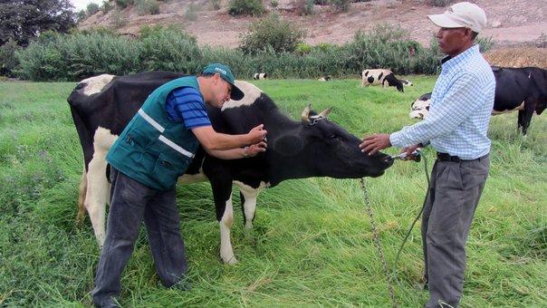 Senasa inicia vacunación contra el ántrax