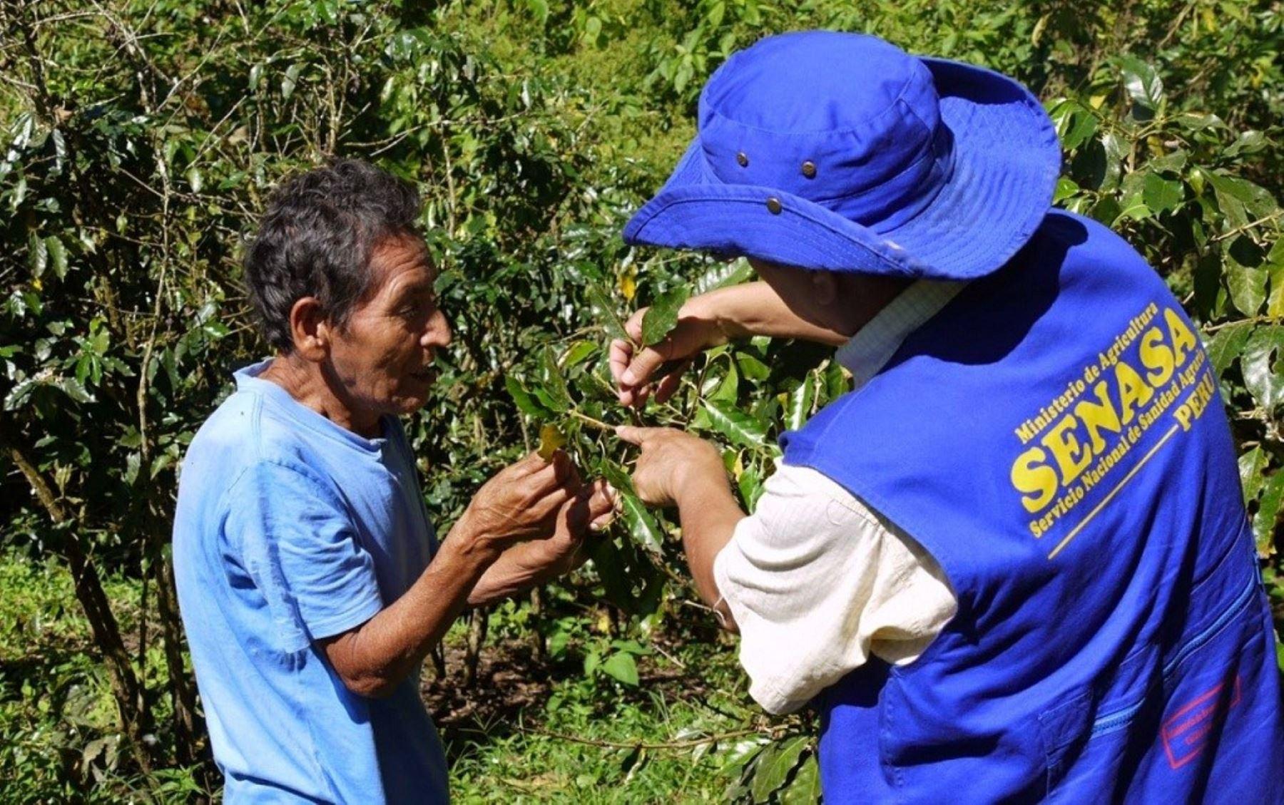 Senasa capacitó a más de 40 mil productores de cacao y café en manejo de plagas el 2017