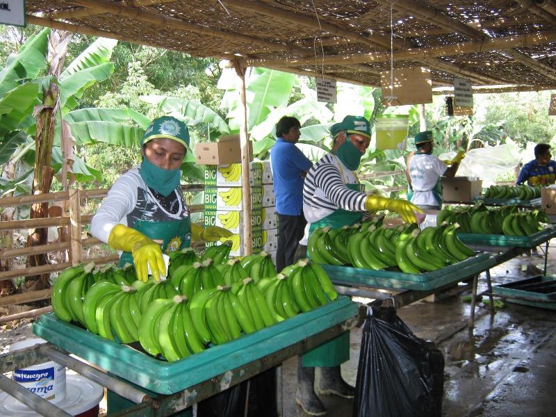 Envíos de banano orgánico por parte de Cepibo se recuperan
