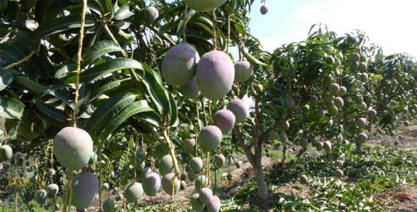 48% de las hectáreas de mango se riega por sistema de inundación