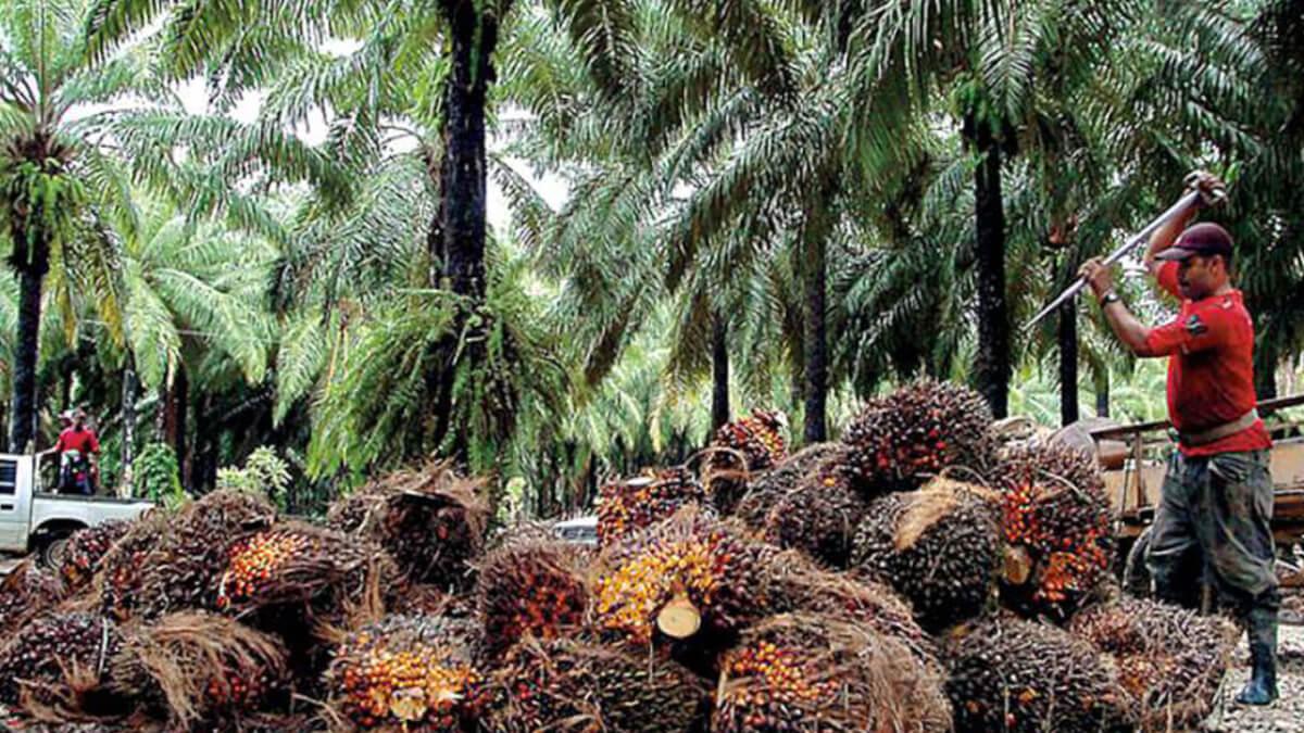 El reto de la palma aceitera al 2026 es hacerla sostenible y amigable con el medio ambiente