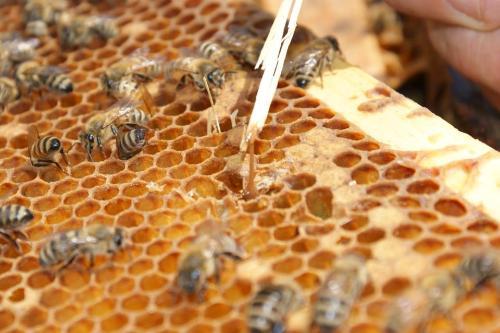 Importar abejas reinas de Chile pondría en riesgo sanidad apícola del país