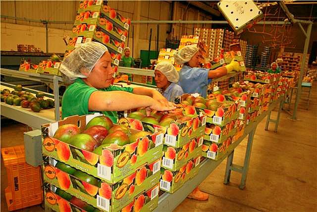La distancia sigue siendo la mayor restricción para incrementar volumen de exportación de mangos f...