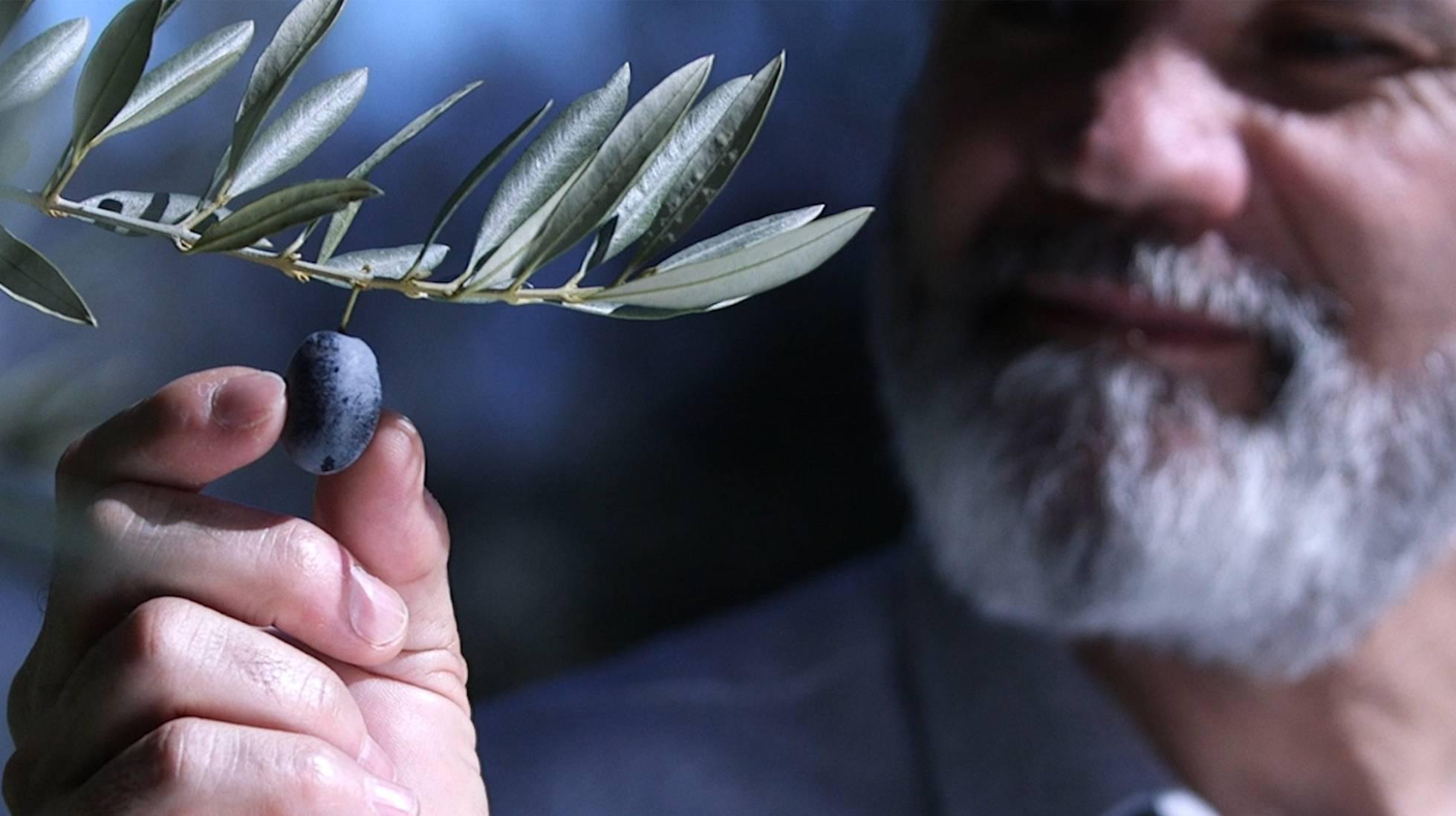 España: diseñan aceitunas de silicona para atrapar a ladrones de cosechas