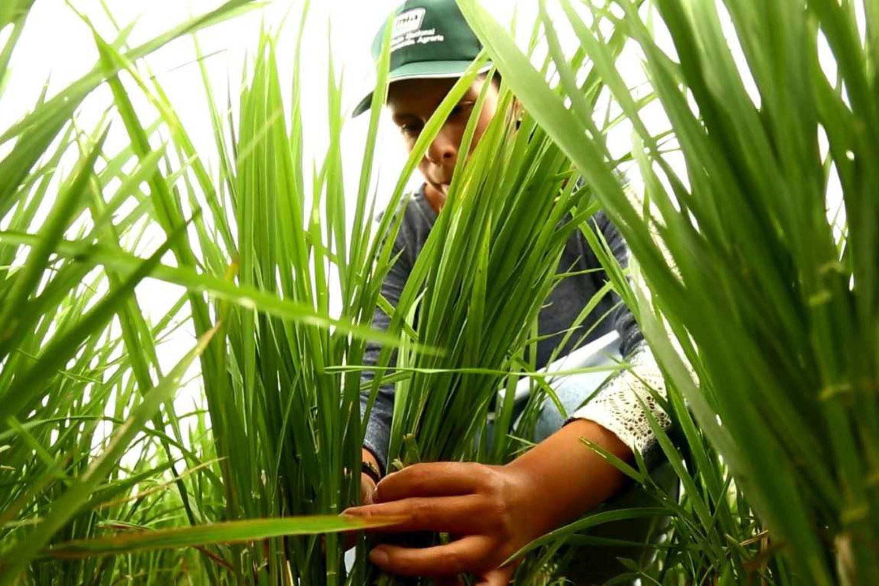 INIA aporta a la producción agropecuaria un valor de más de S/ 1,800 millones con innovación en ocho cultivos