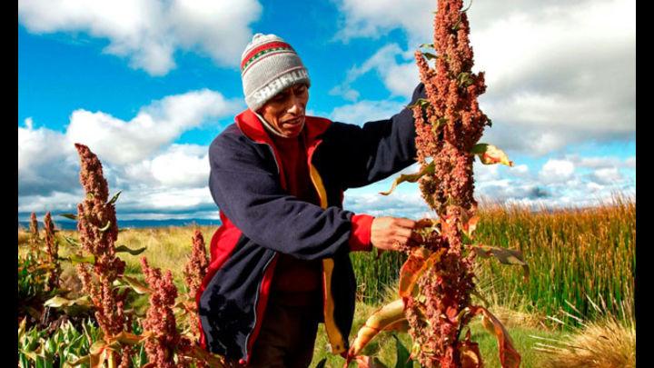 Copain Cabana proyecta producir 360 mil toneladas de quinua este año