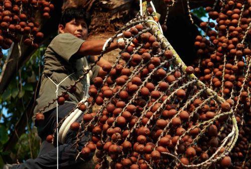 Mejoran competitividad de productores de frutas amazónicas de Loreto