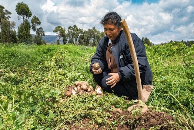 INIA identifica nuevas variedades de papa con resistencia a efectos del cambio climático