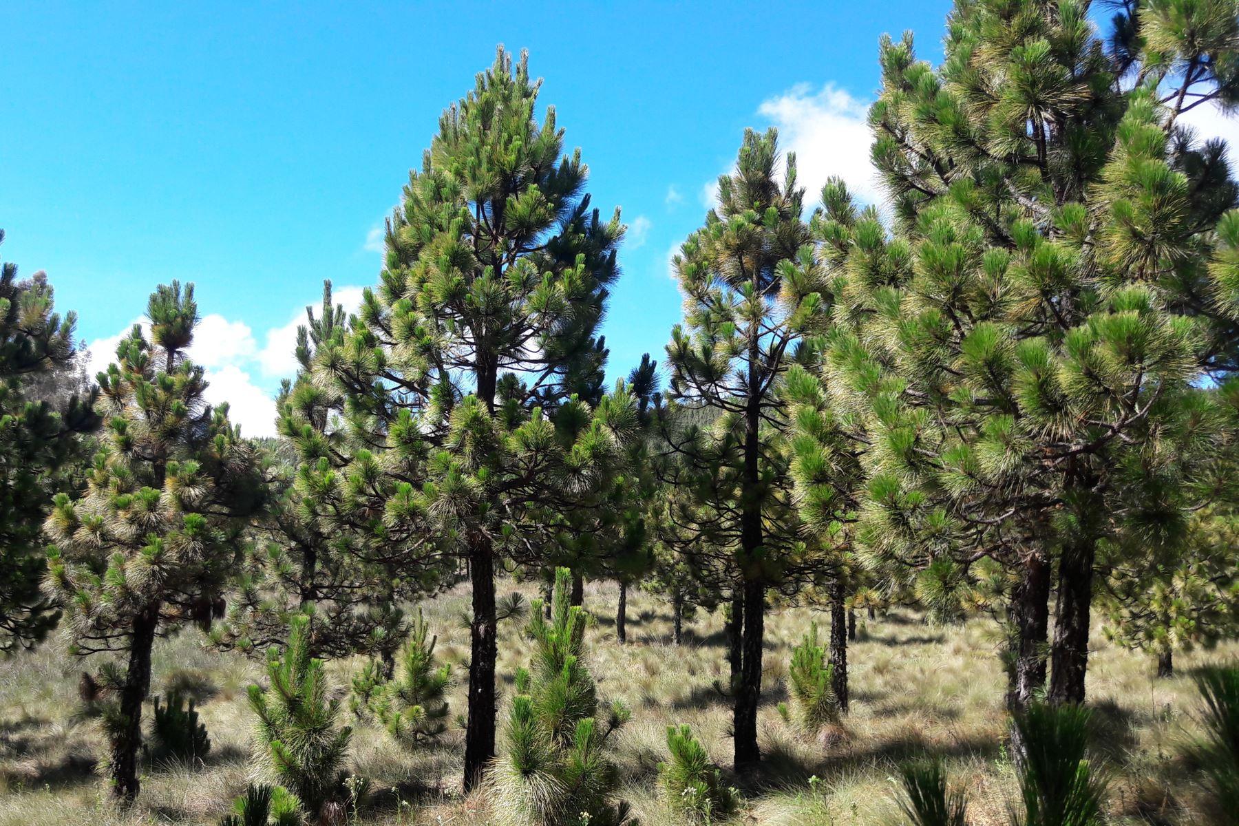 Pino es la plantación forestal con el mayor potencial maderable de Cajamarca