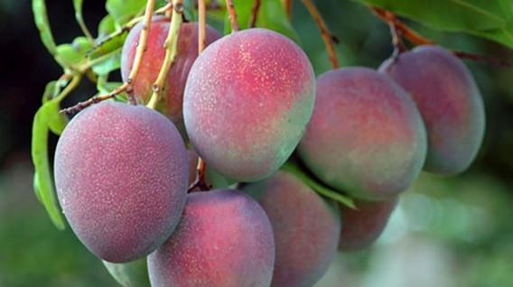 Exportaciones de mango marcaron récord histórico de US$ 284 millones