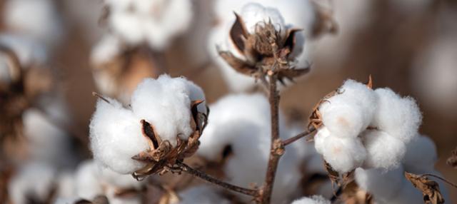 Estados Unidos se impone largamente como mayor proveedor de tres partidas de algodón para el mercado peruano