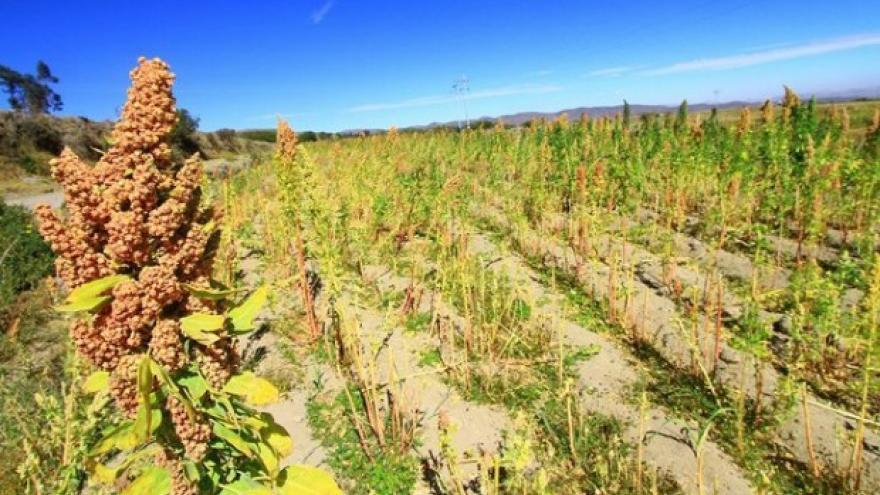 Inspección sanitaria china de campos de producción de quinua en Puno y Lima fue satisfactoria