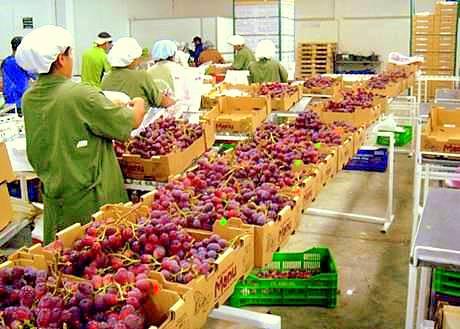 Exportaciones de uvas alcanzaron ya los US$  325.5 millones este año