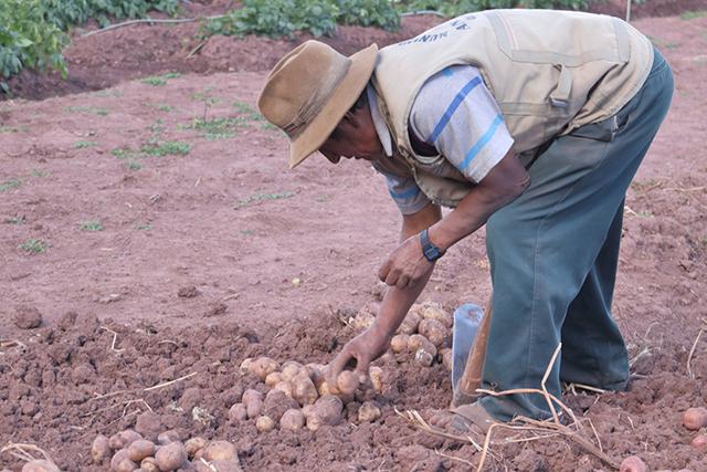 El CIP cruzará papas resistentes al cambio climático y a plagas con variedades peruanas adaptadas