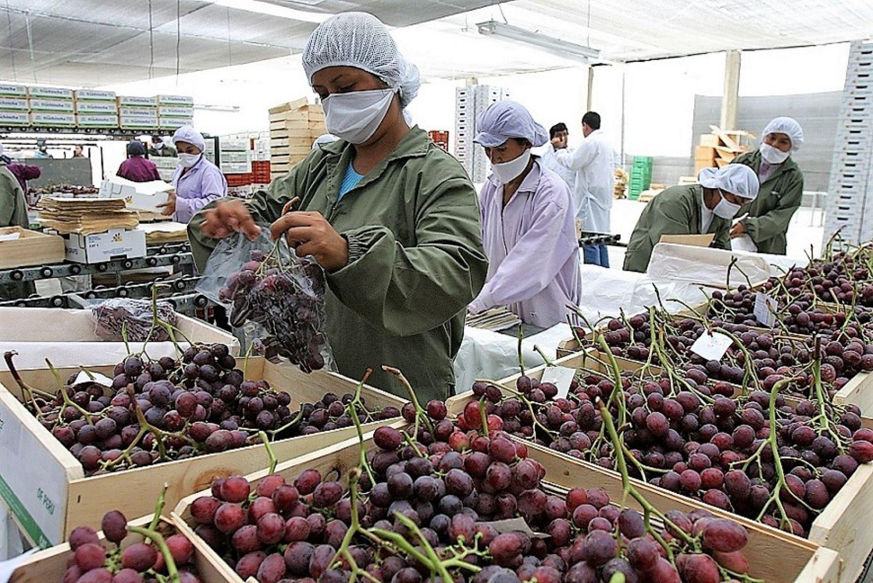 Paita tiene potencial para ser la principal zona productora de uvas de mesa en Perú