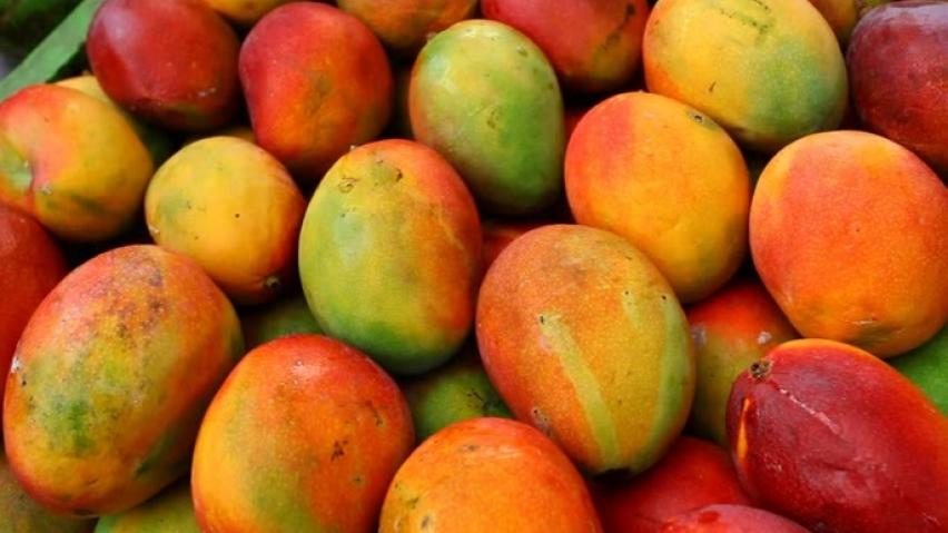 Exportaciones peruanas de mango fresco caerían 20% en la presente campaña