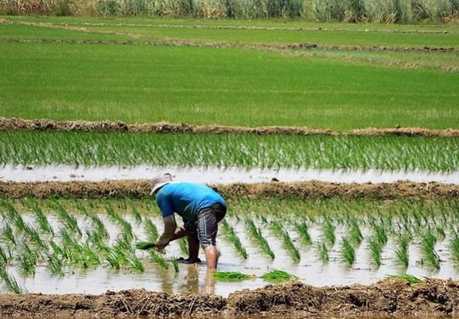 Valle Jequetepeque producirá más de 336 mil toneladas de arroz