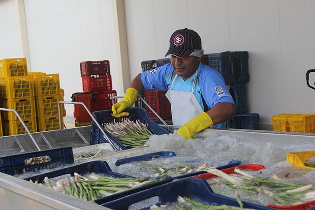 Minagri cofinanció moderna planta de procesamiento de espárragos en La Libertad