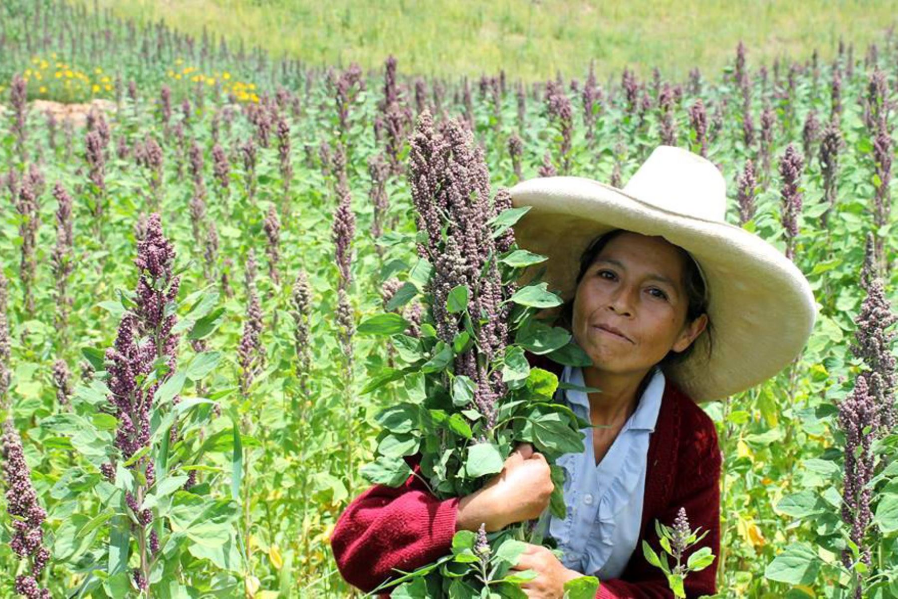 Cajamarca duplicará producción de quinua orgánica para exportación